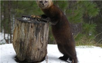 Красноярский спасатель несколько лет прикармливал на «Столбах» соболя. Теперь зверек берет печенье изо рта у человека